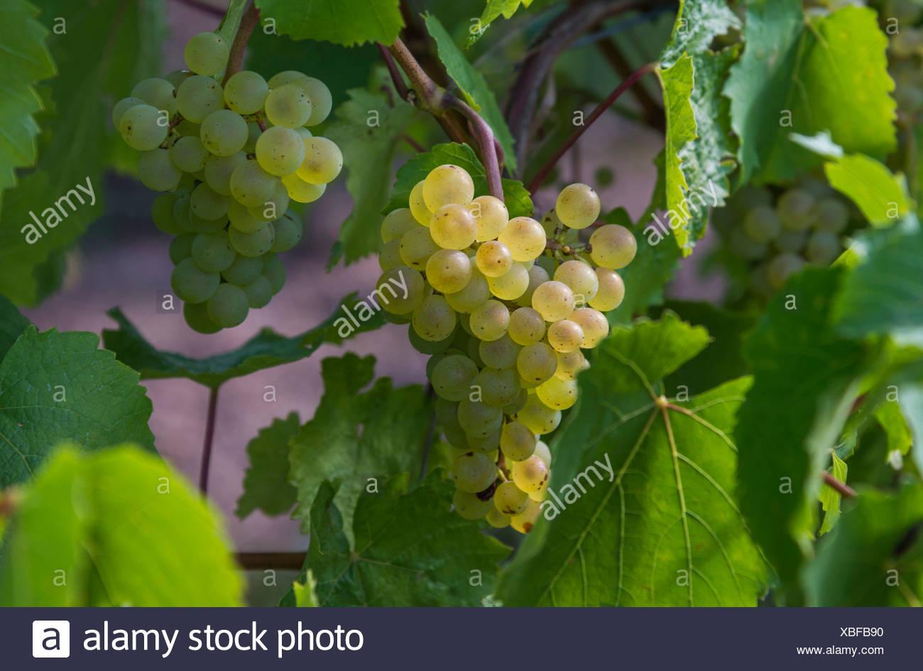 Grapes, Weinberg, Katzenthal, Alsace, France Stock Photo