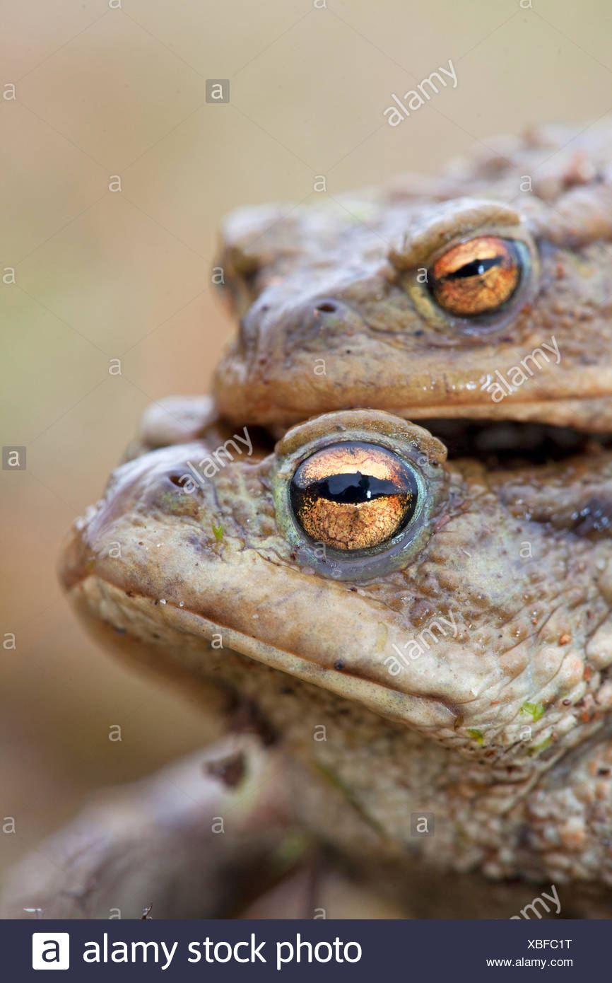 portrait of a couple common toads - Stock Image