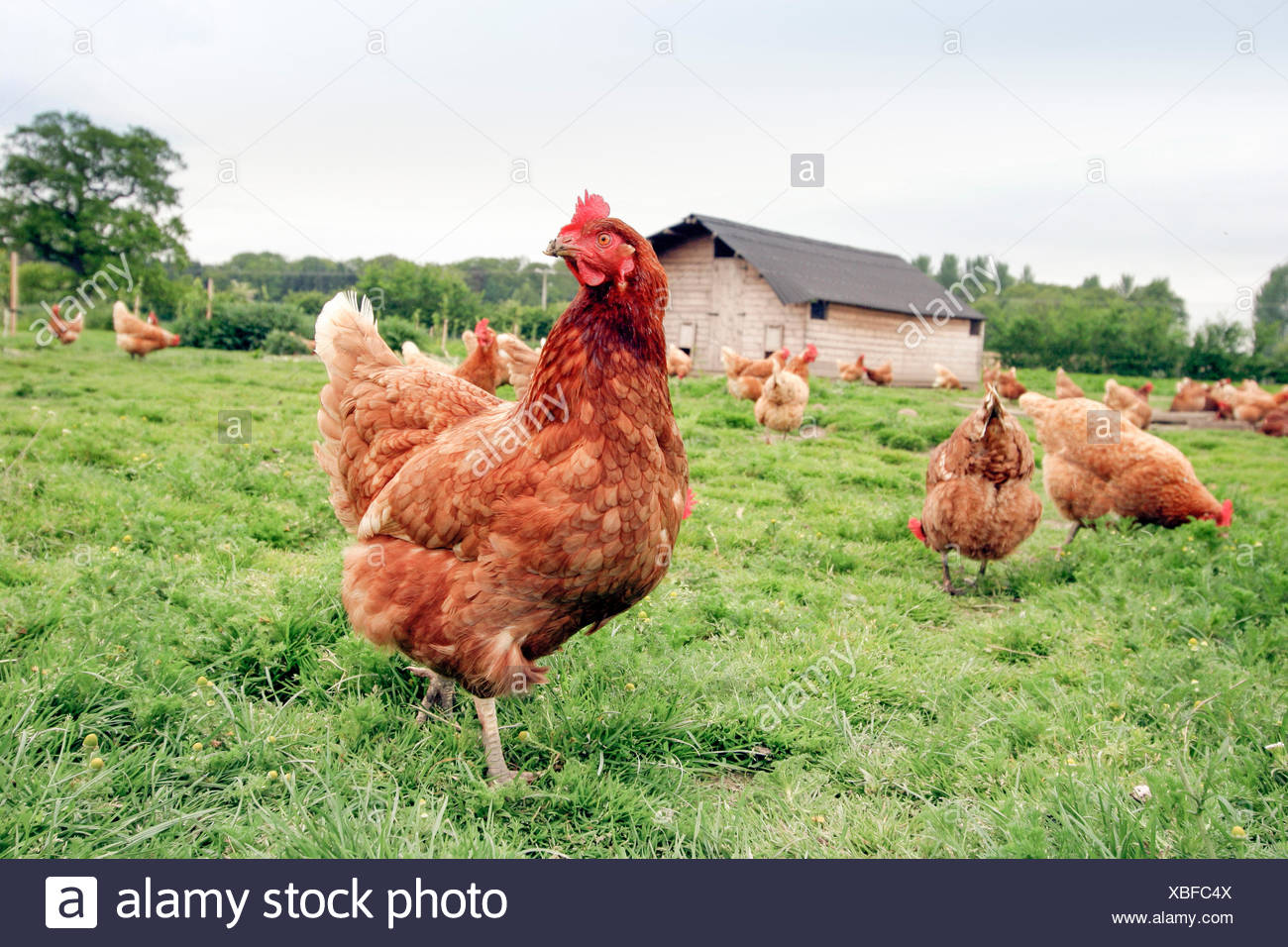 Free range chickens on a poultry farm. - Stock Image
