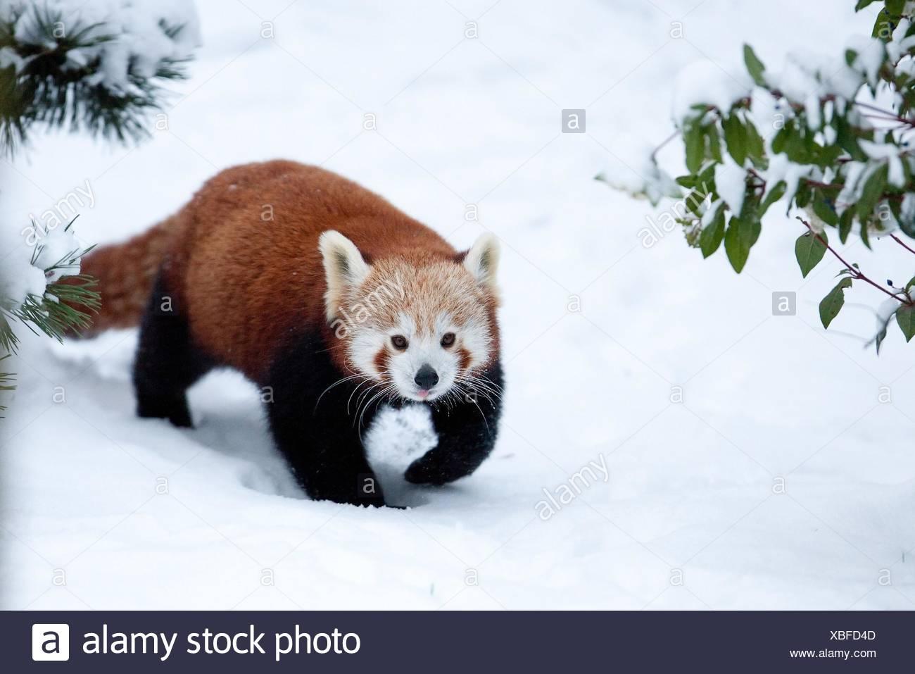 lesser panda Stock Photo