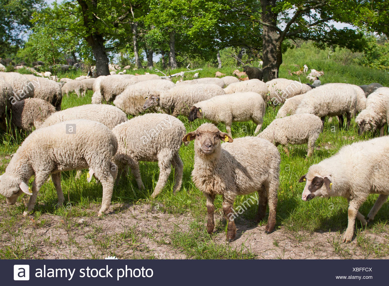 Merino sheep (Ovis ammon f. aries), flock of sheep browsing in a meadow under oaks, Germany - Stock Image