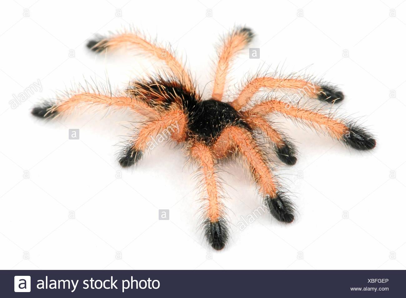 Whitetoe tarantula (Avicularia metallica), cut-out - Stock Image