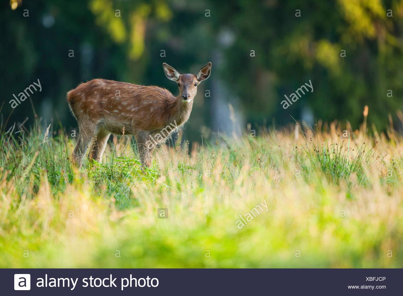 Red deer (Cervus elaphus), fawn, captive, Saxony, Germany - Stock Image
