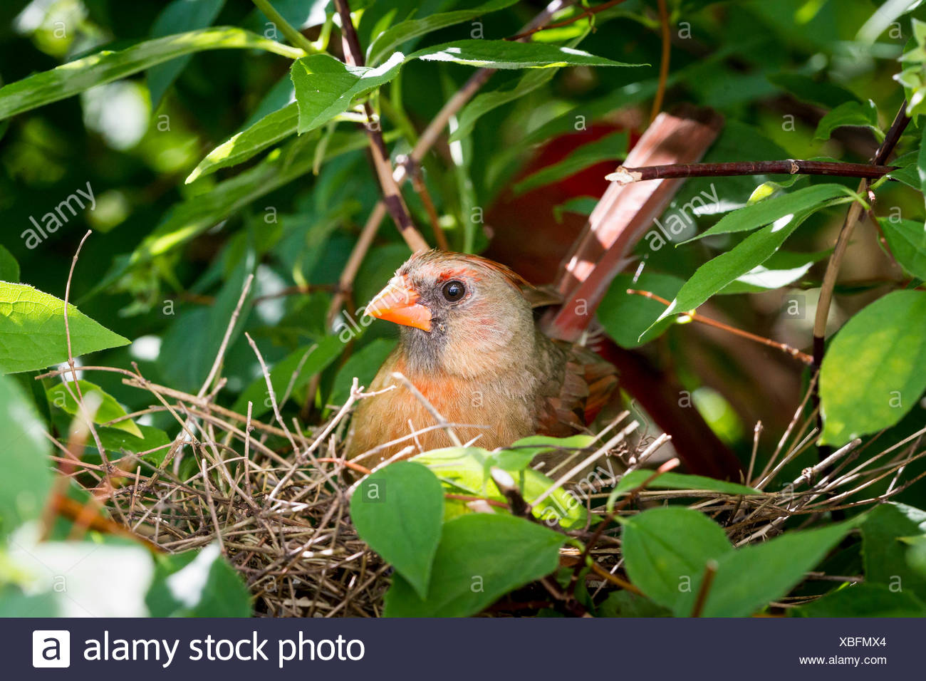 Female Northern Cardinal (Cardinalis cardinalis) at nest, Toronto, Ontario Stock Photo