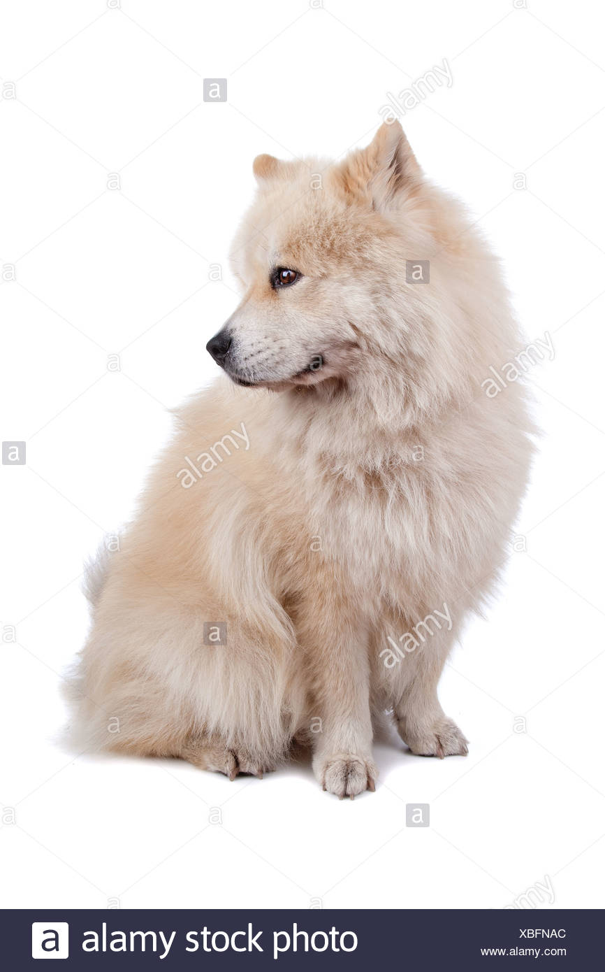 Cute mixed breed dog Chow-Chow and Samoyed sitting and looking sideways, isolated on a white background - Stock Image