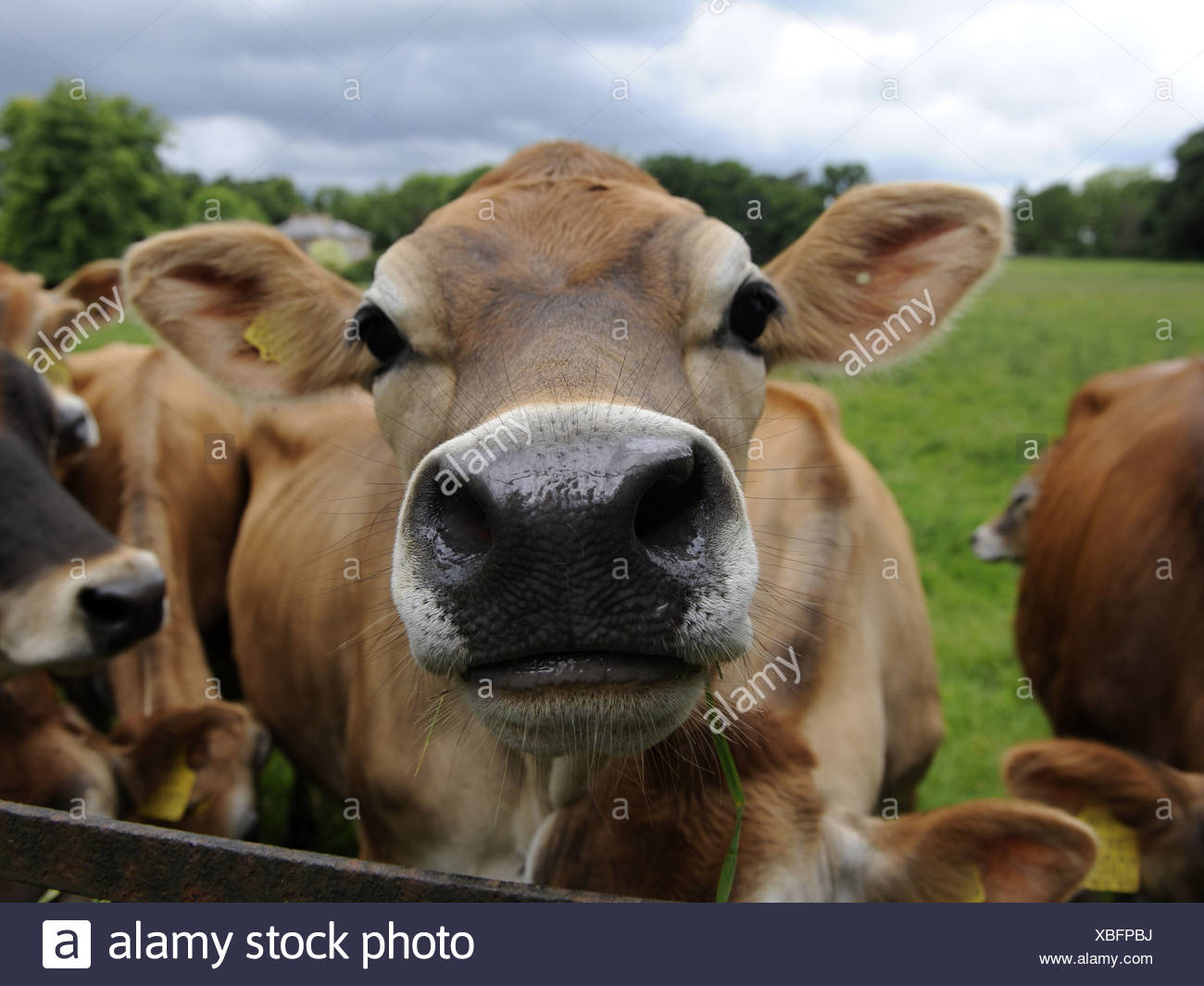 A group of jersey cows in a feld - Stock Image