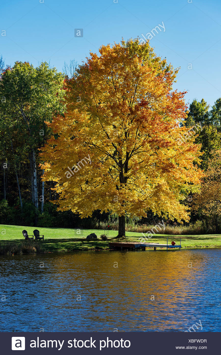 Golden autumn color maple tree on the edge of a quiet pond, Madison, New York, USA Stock Photo