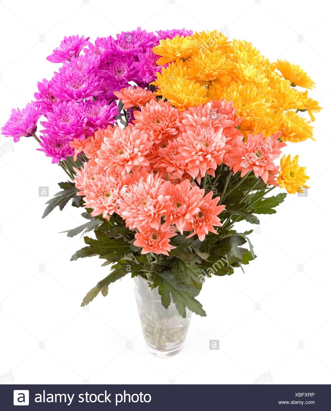 Chrysanthemum - Stock Image