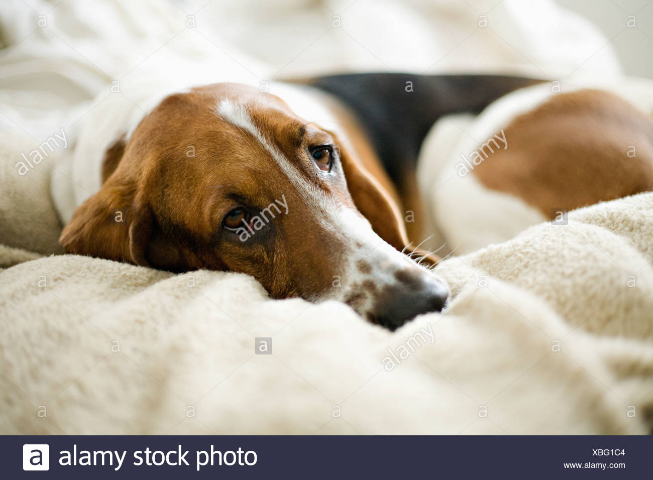 USA, Illinois, Washington, Bassett Hound lying on bed - Stock Image