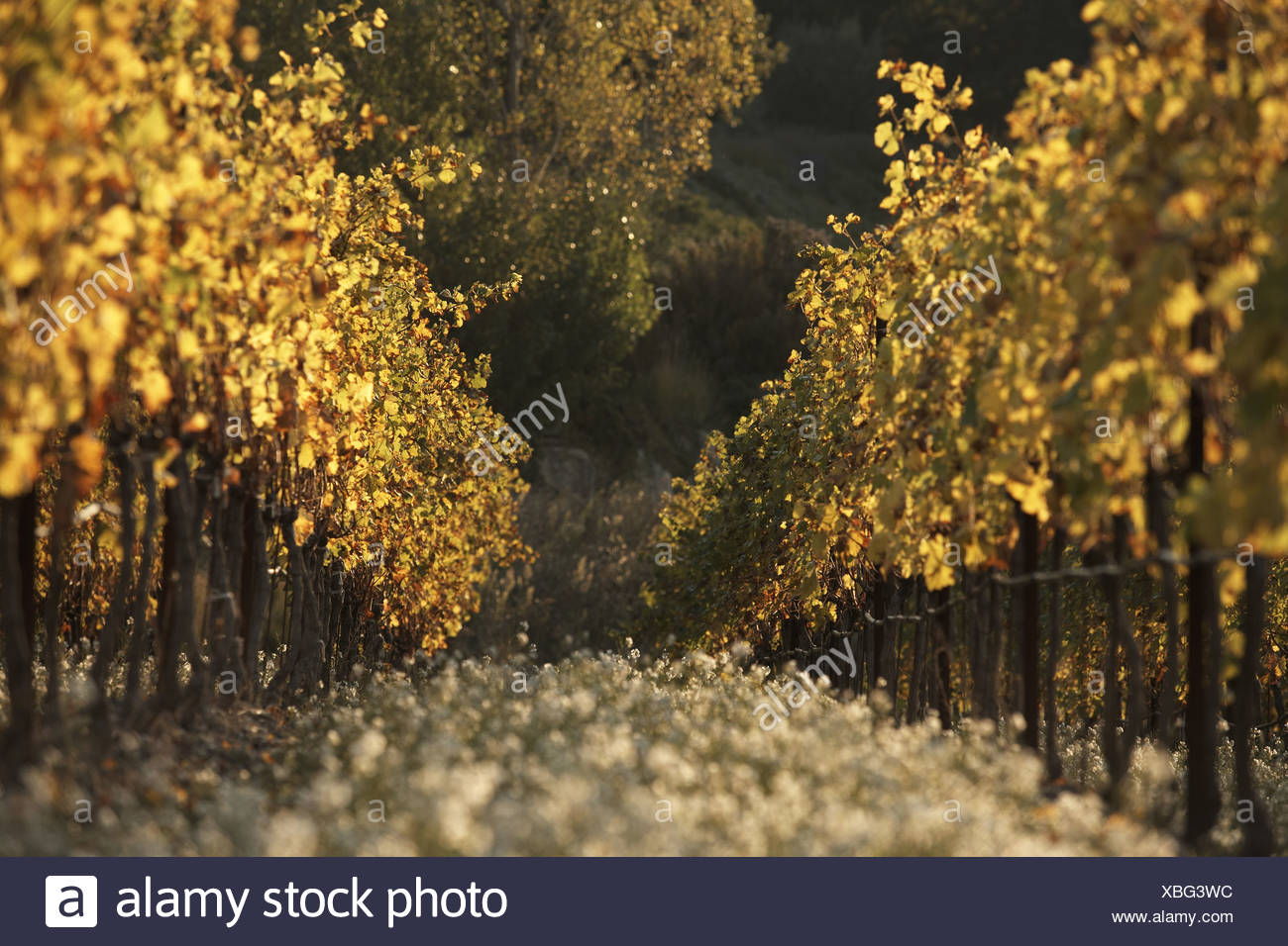 Côtes-du-Rhône vinyard - Stock Image