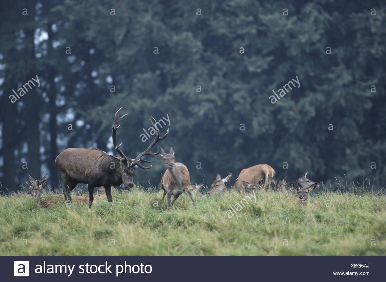 Red Deer stag testing the receptiveness Stock Photo