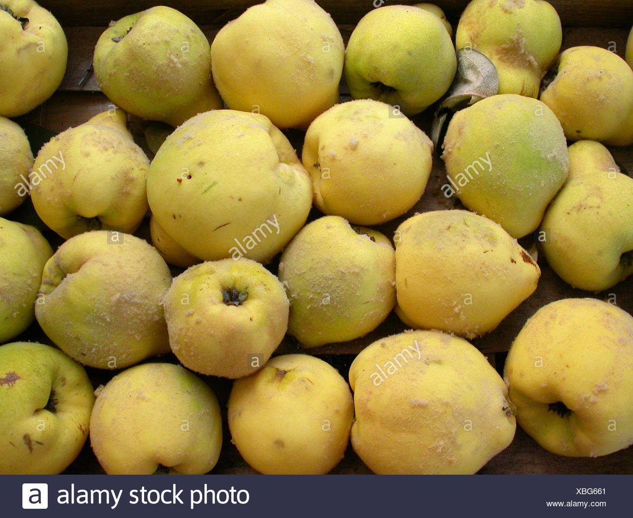 Pome Quinces Quince Herbsternte Herbstfrchte Cydonia Oblonga