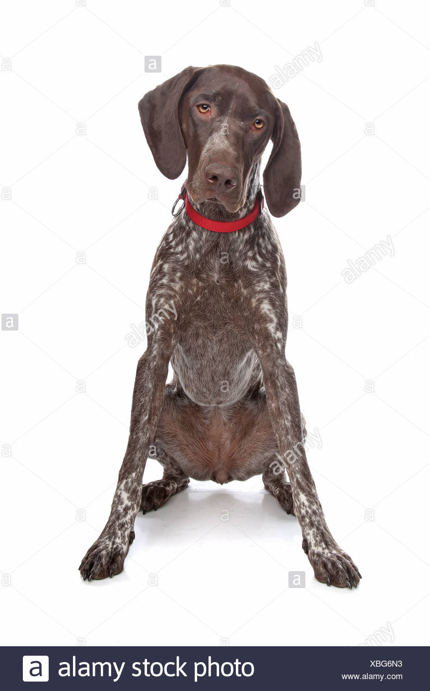 German Shorthaired Pointer in front of a white background - Stock Image