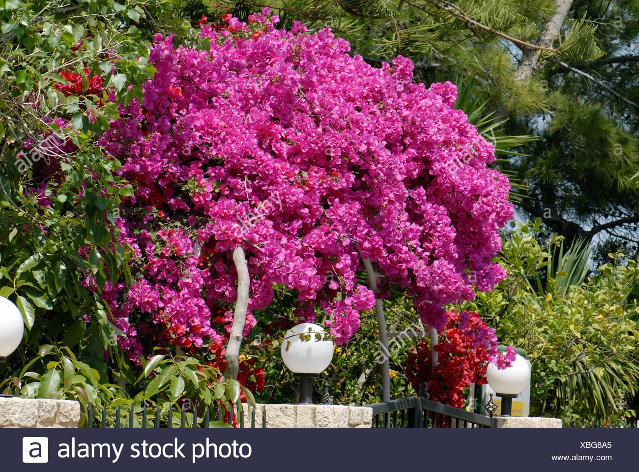 Magenta bracts on brightly coloured Bougainvillea glabra Crete - Stock Image