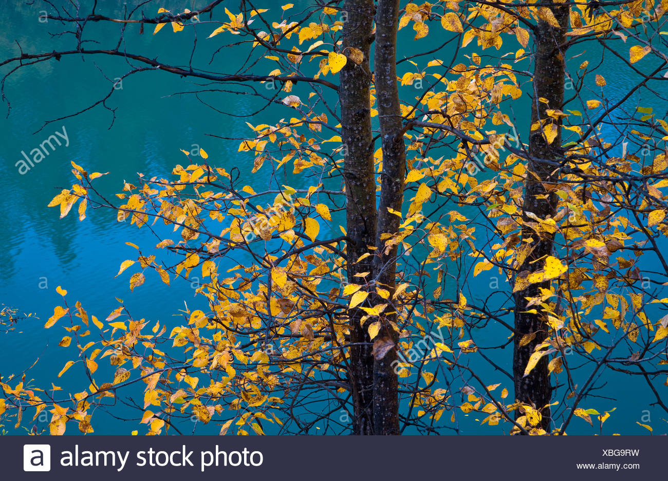 Poplar tree with yellow leaves and Eklutna Lake, Chugach State Park, Southcentral Alaska, Autumn - Stock Image