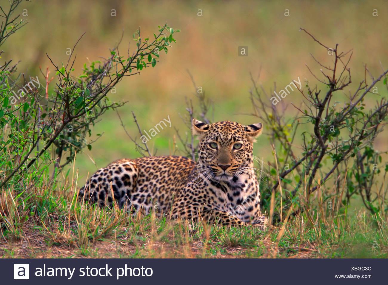 leopard (Panthera pardus), lying in thicket, Kenya, Masai Mara National Park - Stock Image