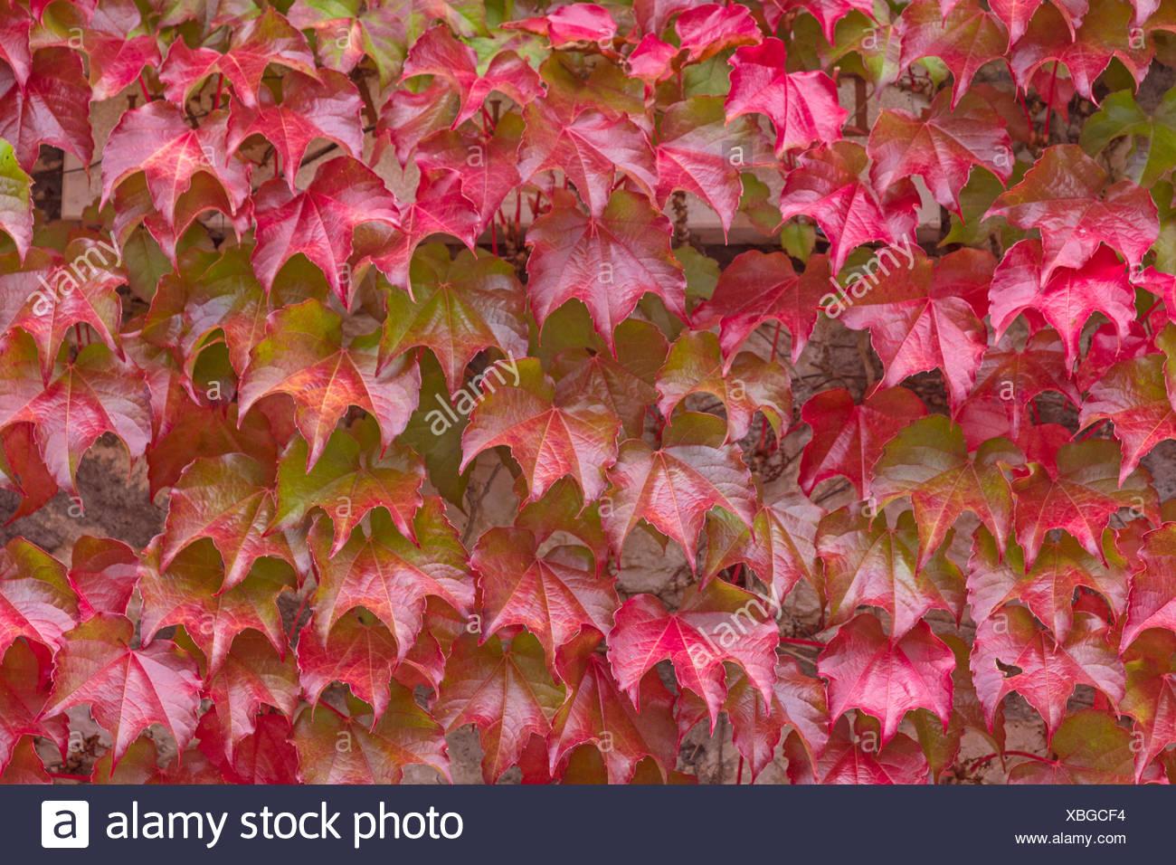 Hintergrundbild Herbstlich Gefarbter Wilder Wein Stock Photo Alamy
