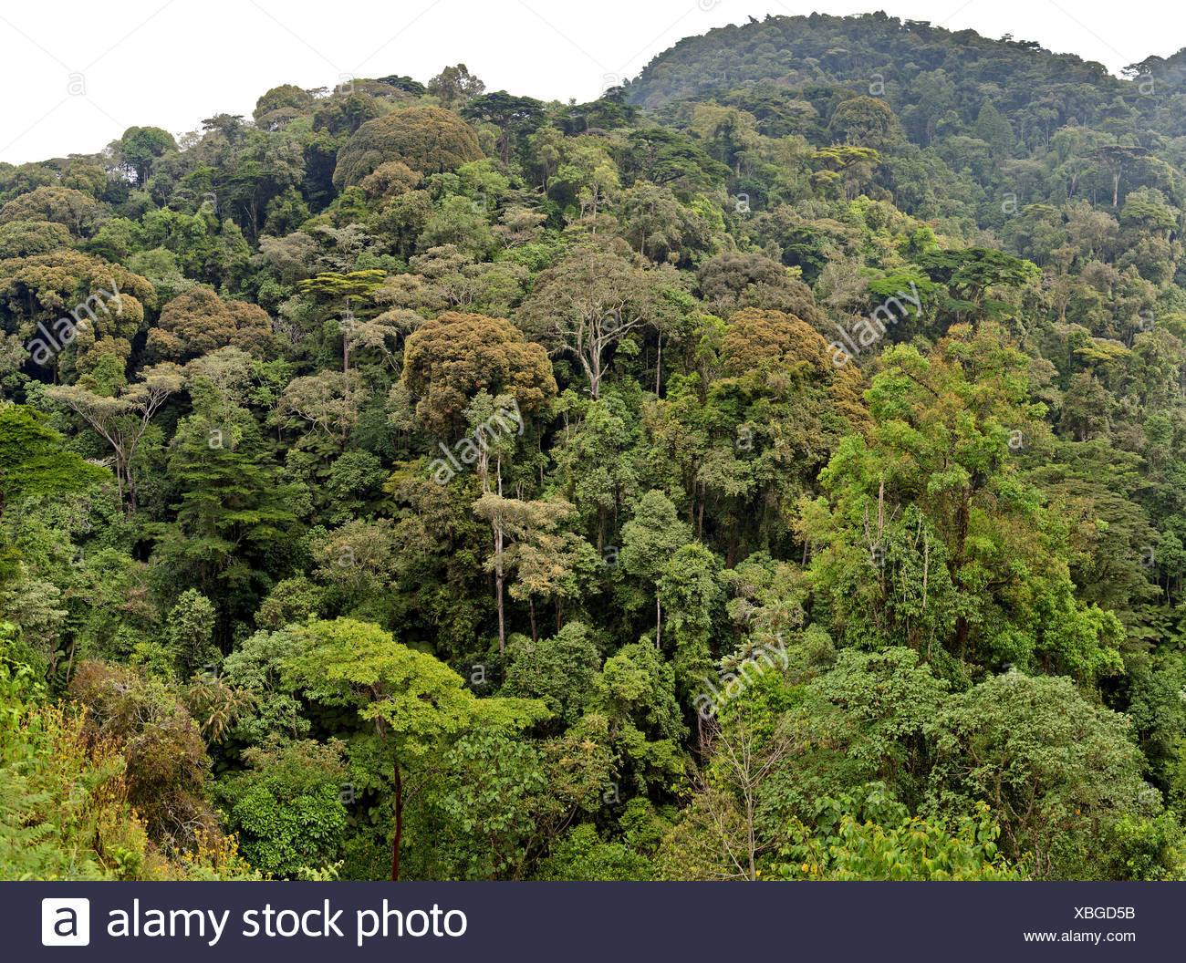 rainforest, Uganda, Bwindi Impenetrable National Park Stock Photo