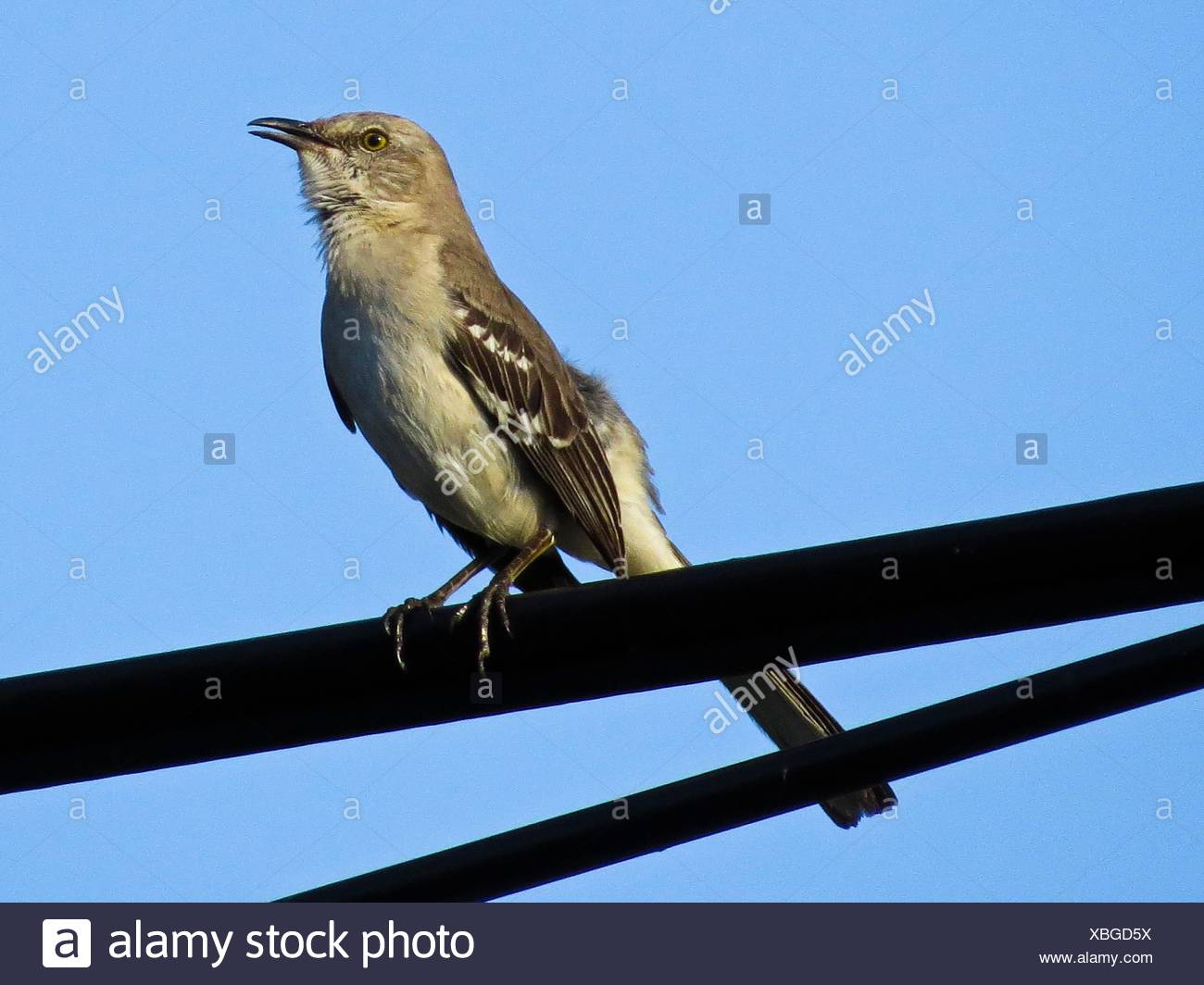 Northern mockingbird, Mimus polyglottos - Stock Image