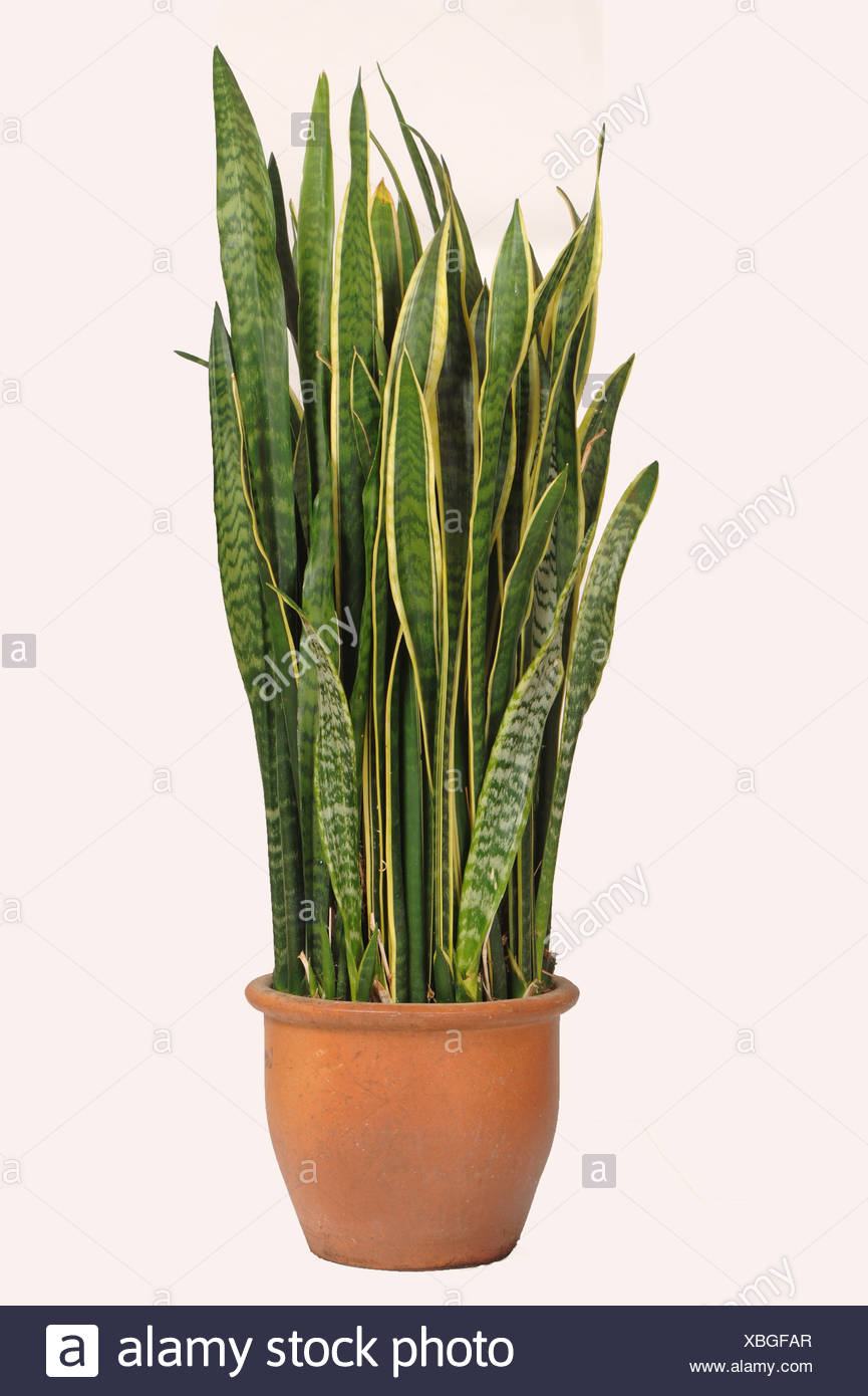 Snake Plant High Resolution Stock Photography And Images Alamy
