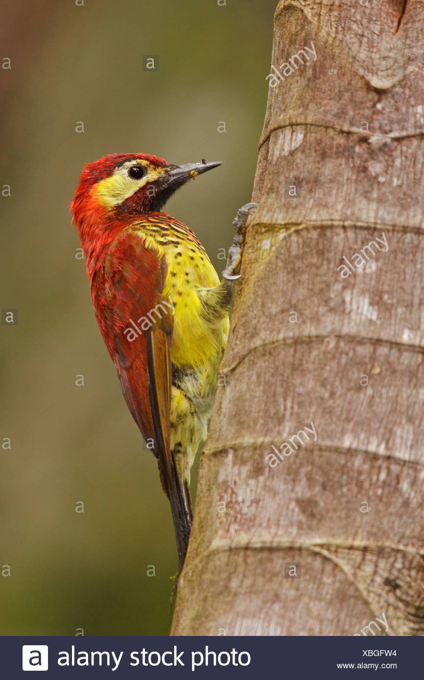 Crimson-mantled Woodpecker (Piculus rivolii) perched on a branch in the Tandayapa Valley of Ecuador. - Stock Image