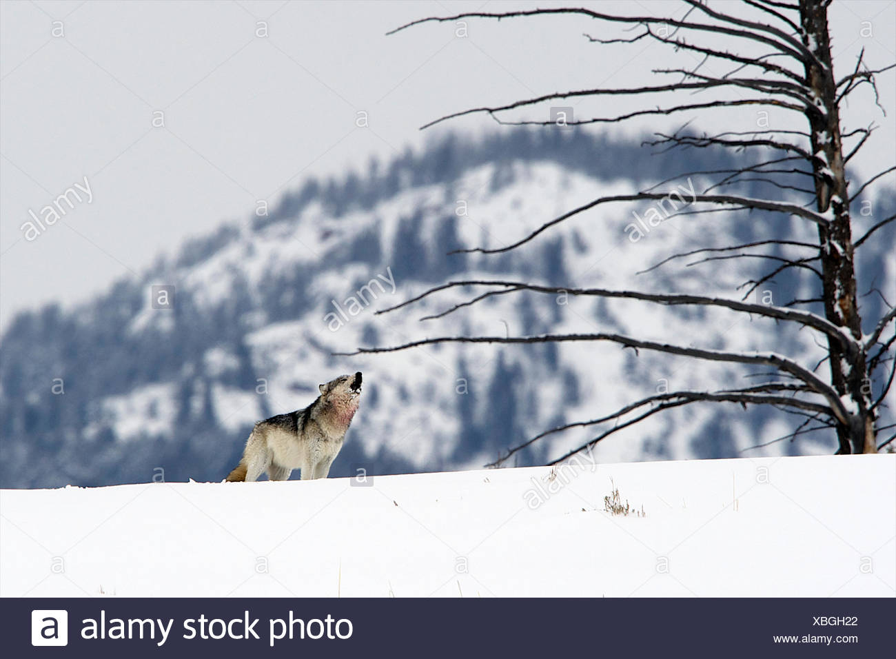 A wolf howls to its pack on a hill after getting chased by another pack. - Stock Image