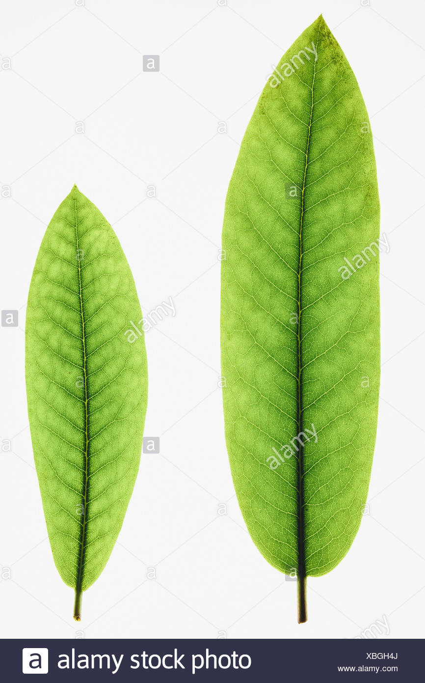 Two green Rhododendron leaves one large one small close up - Stock Image