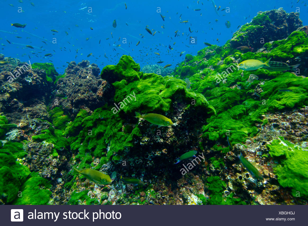 Reef of Green Alge Andaman Sea Myanmar Burma - Stock Image