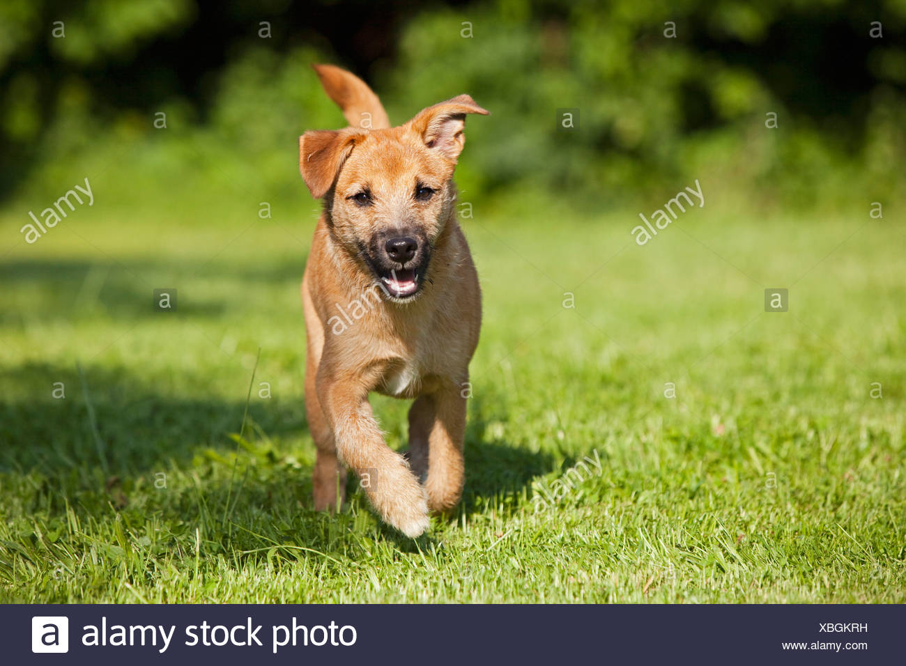 Germany, Bavaria, Parson jack russel dog running on grass - Stock Image
