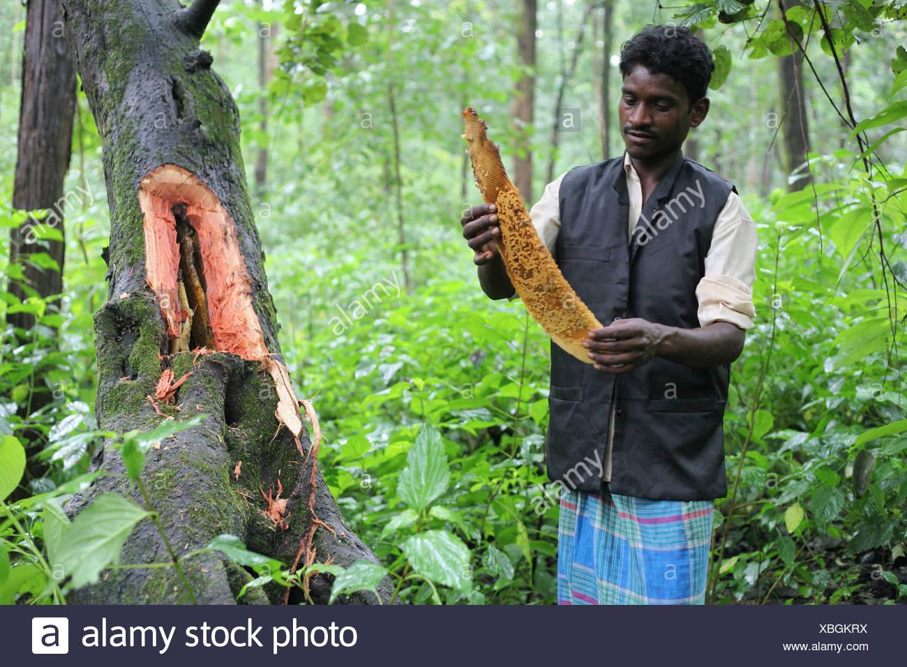 Baiga man with honeycomb. Madhya Pradesh, India - Stock Image