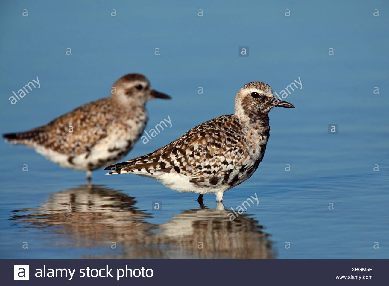 grey plover (Pluvialis squatarola), birds in winter plumage and in transition to breeding plumage, USA, Florida - Stock Image