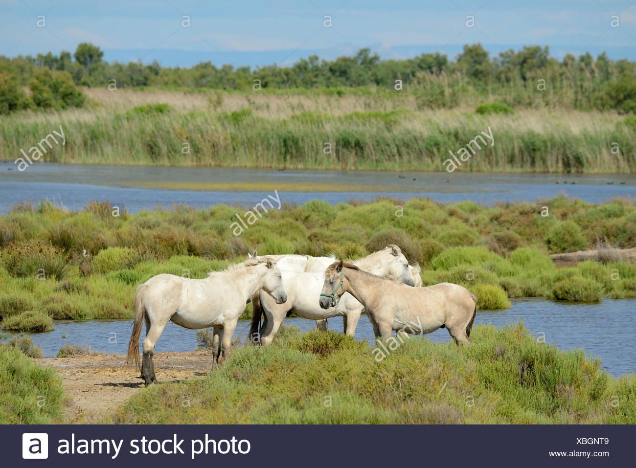Europe, France, Languedoc- Roussillon, Camargue, horses, wetland, wildlife, animal, white horses - Stock Image