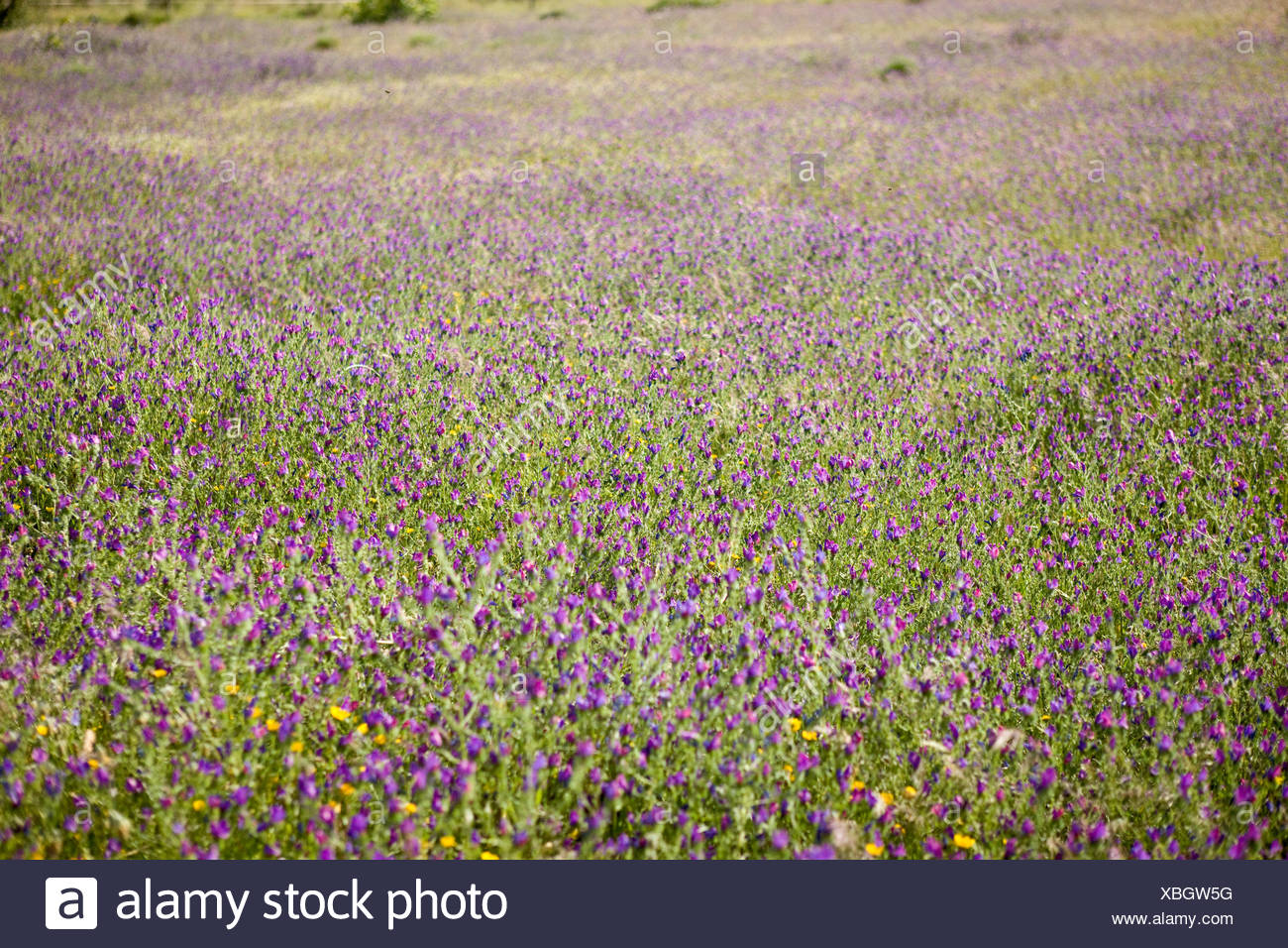 A mass of purple wildflowers in a meadow Stock Photo