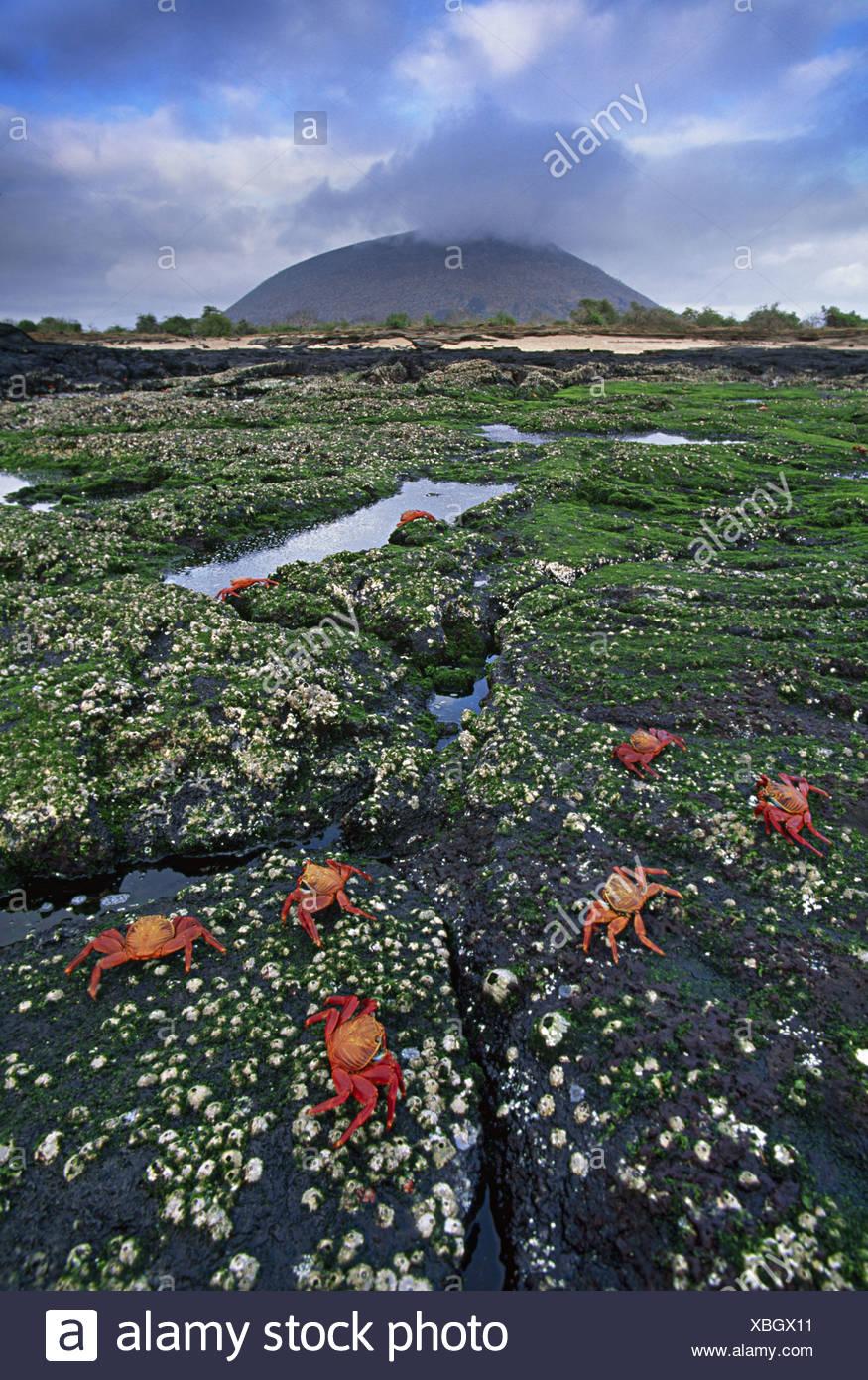 Galapagos Islands Sally lightfoot crabs Grapsus grapsus Galapagos - Stock Image