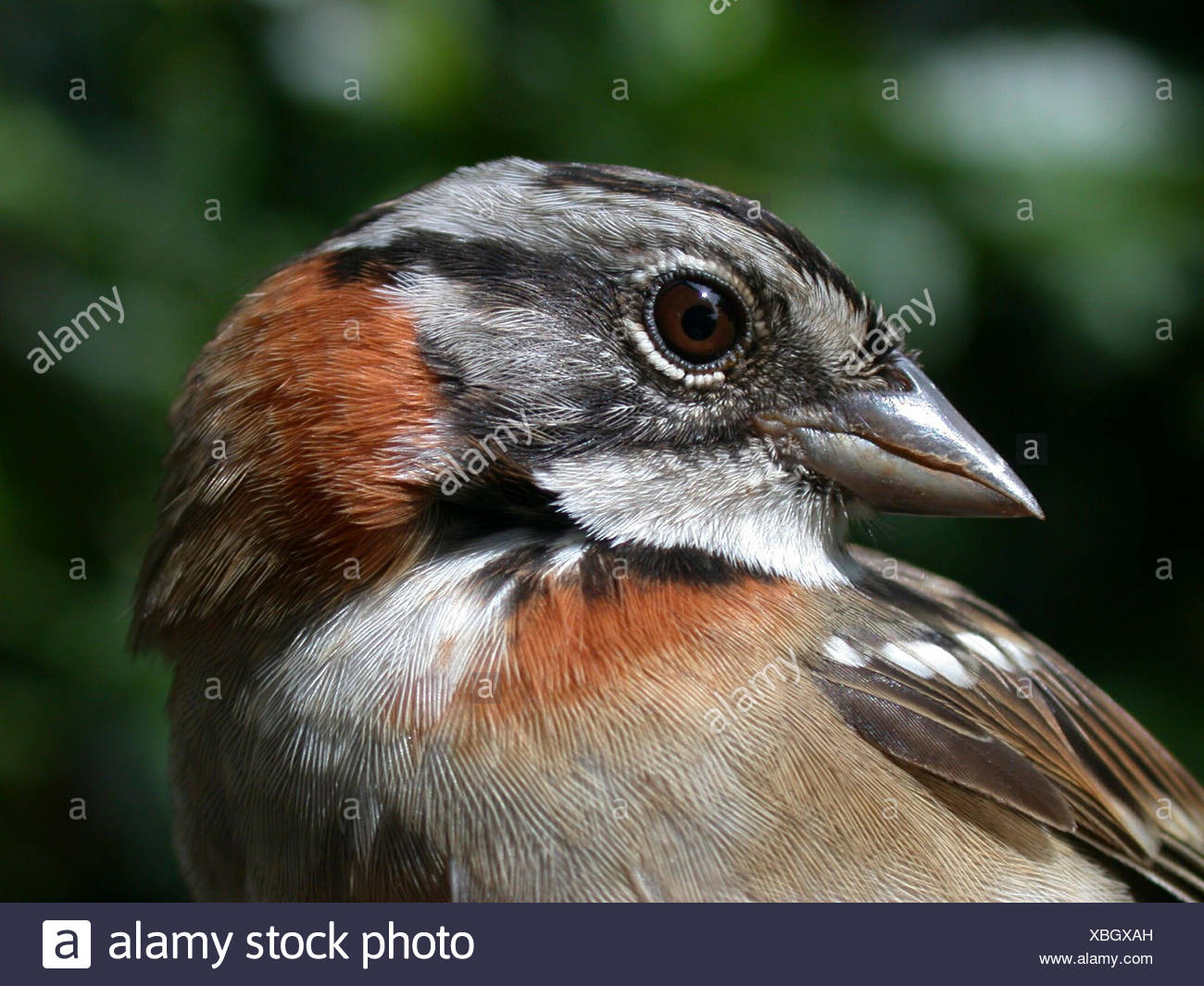 Close-up of a rufous-collared sparrow, Zonotrichia capensis. Stock Photo