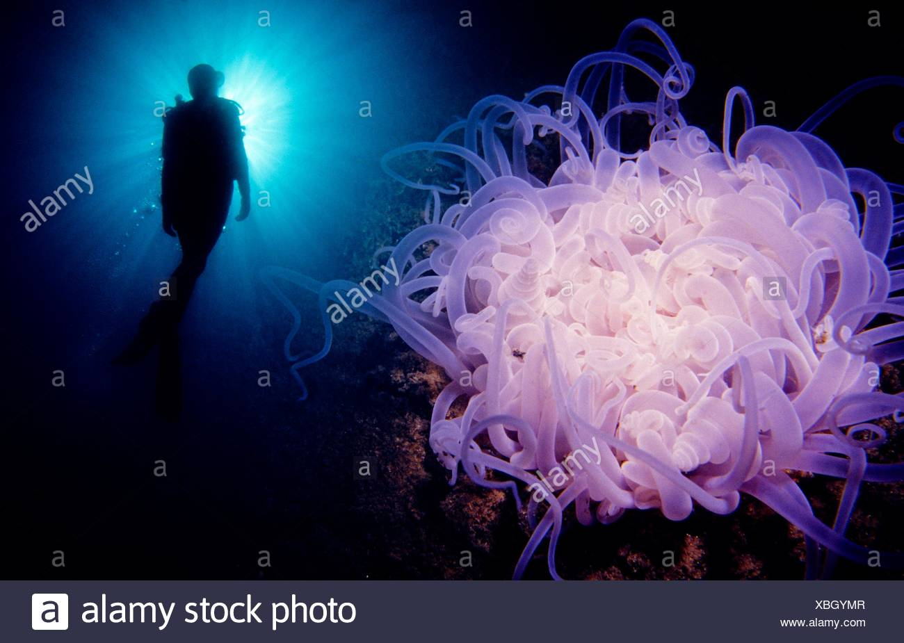 Diver and Tube-dwelling Anemone (Cerianthus lloydii), Eastern Atlantic, Galicia, Spain - Stock Image