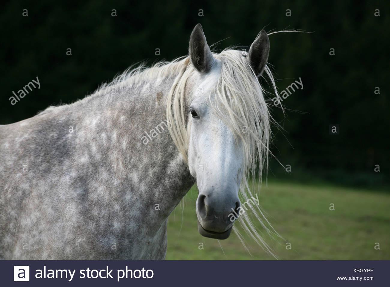 horse dapple grey thoroughbred - Stock Image