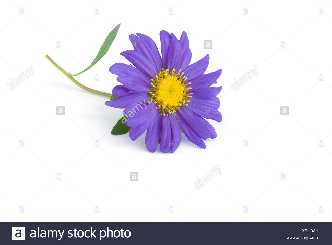 Aster on white background - Stock Image