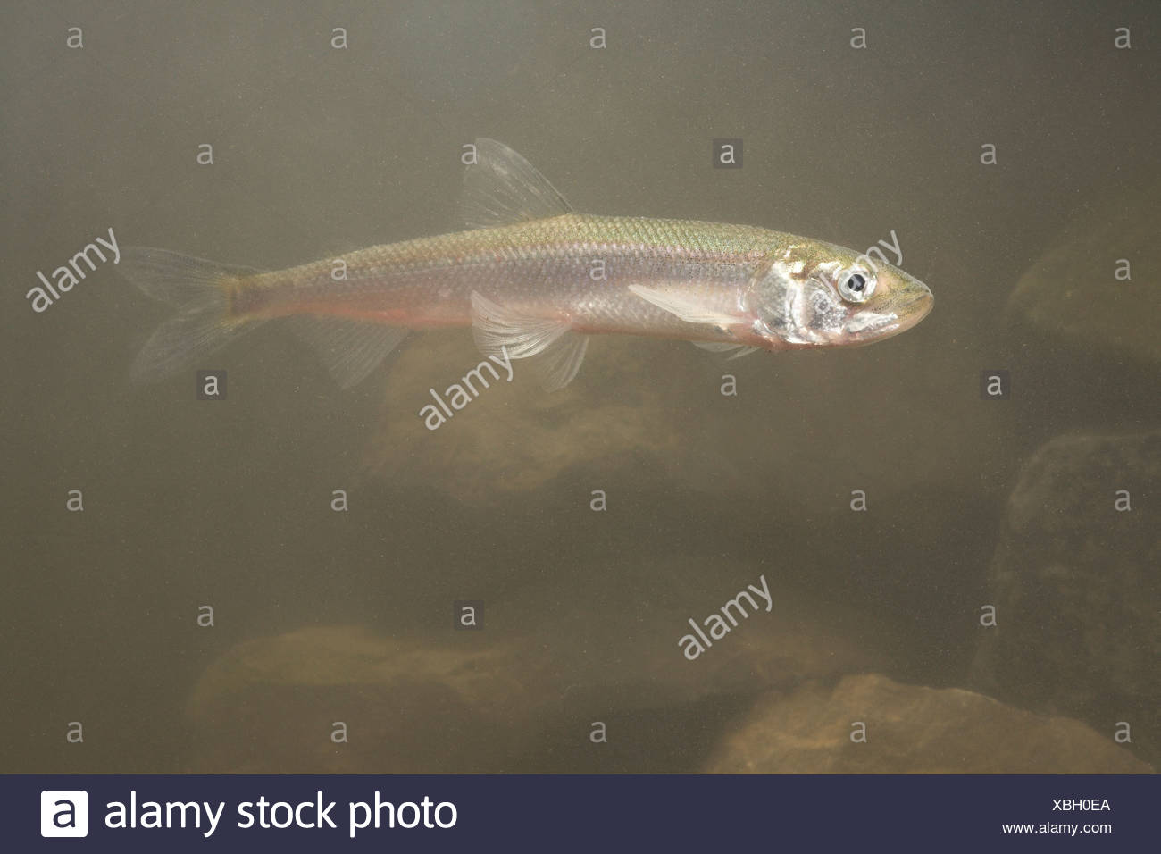 photo of a European smelt underwater Stock Photo