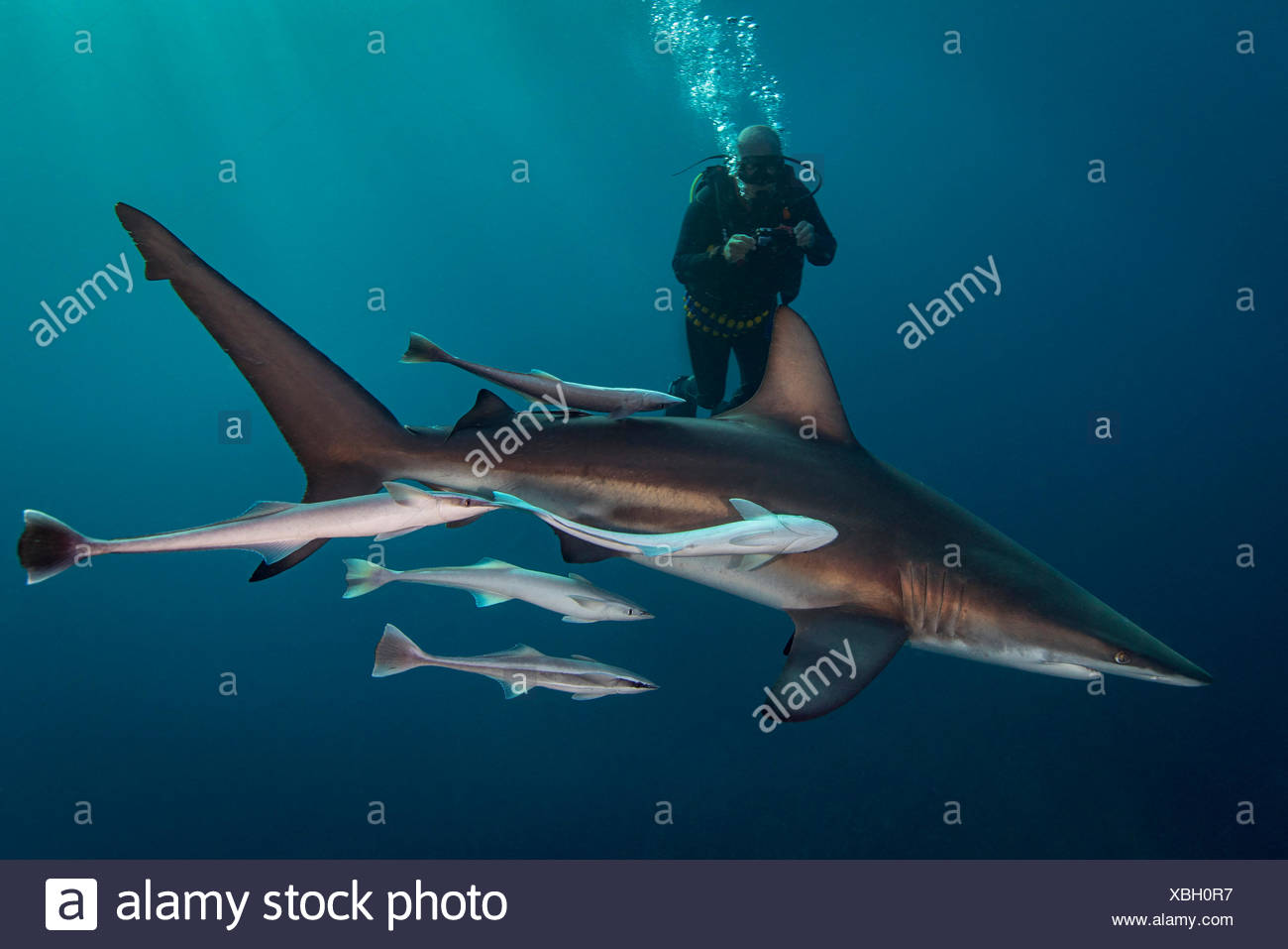 Large Oceanic Blacktip Shark (Carcharhinus Limbatus) circling diver, Aliwal Shoal, South Africa Stock Photo