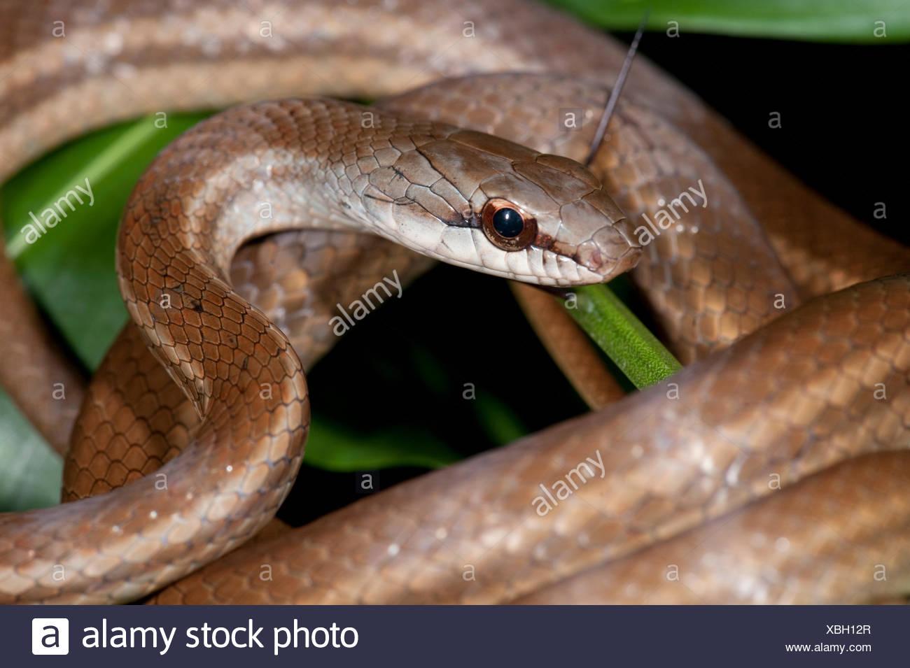 Salmon Bellied Racer Snake Dryadophis Melanolomus Panama Central America Gamboa Reserve