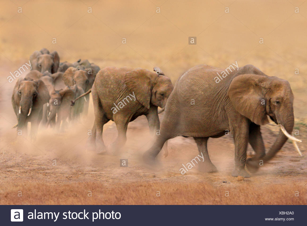 African elephant (Loxodonta africana), group walking quickly through the steppe and blowing up dust, Kenya, Amboseli National Park - Stock Image