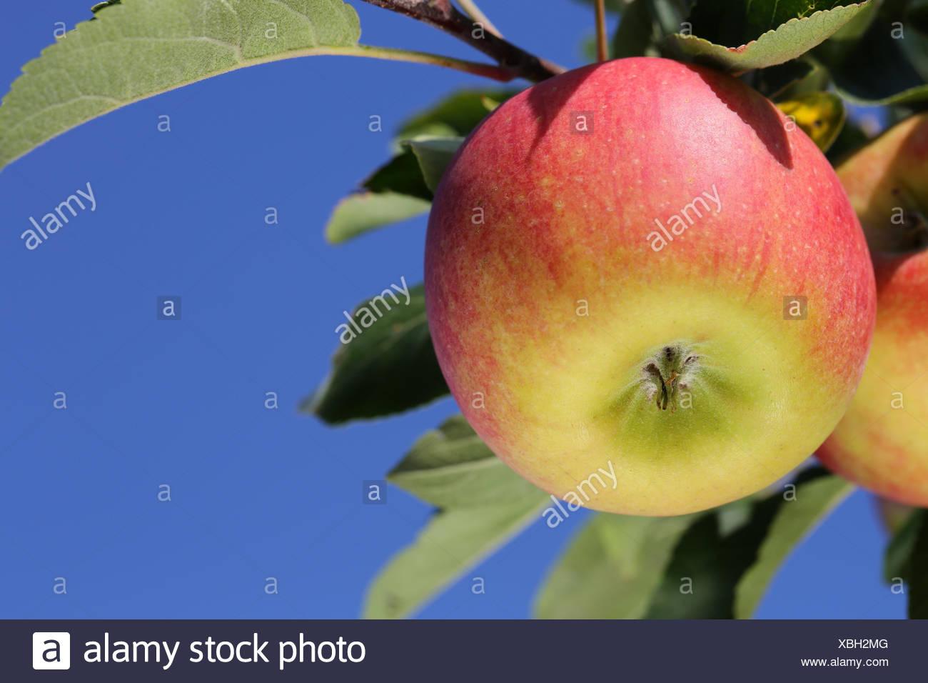 Apfel auf einem Apfelbaum und blauer Himmel - Stock Image