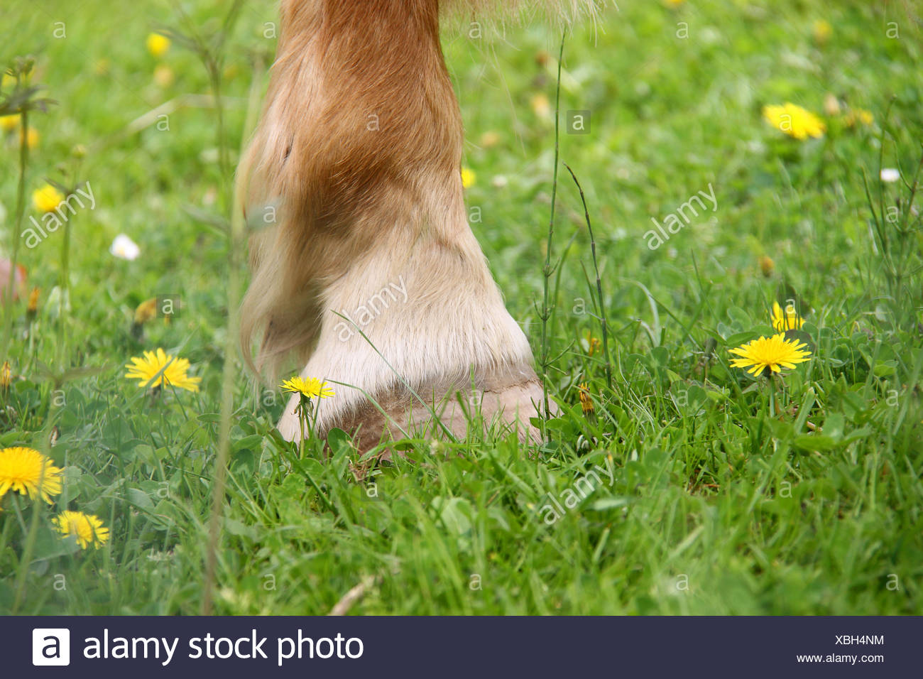 horse, flower meadow, hoofed animal, meadow, willow, horse, horn, flower Stock Photo