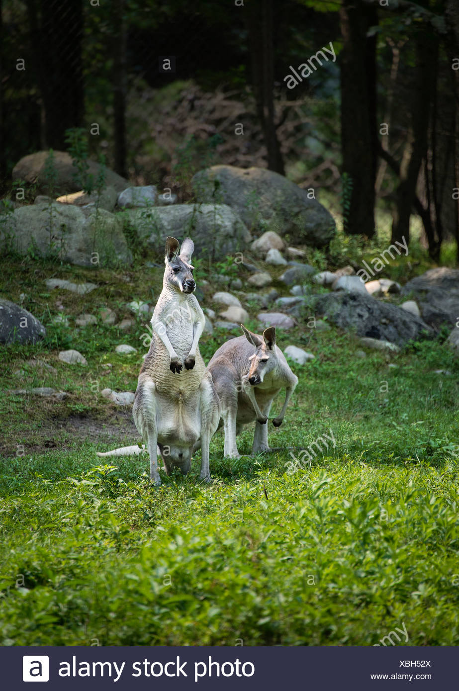 Kangaroos, Macropodidae, marsupial, marsupium - Stock Image