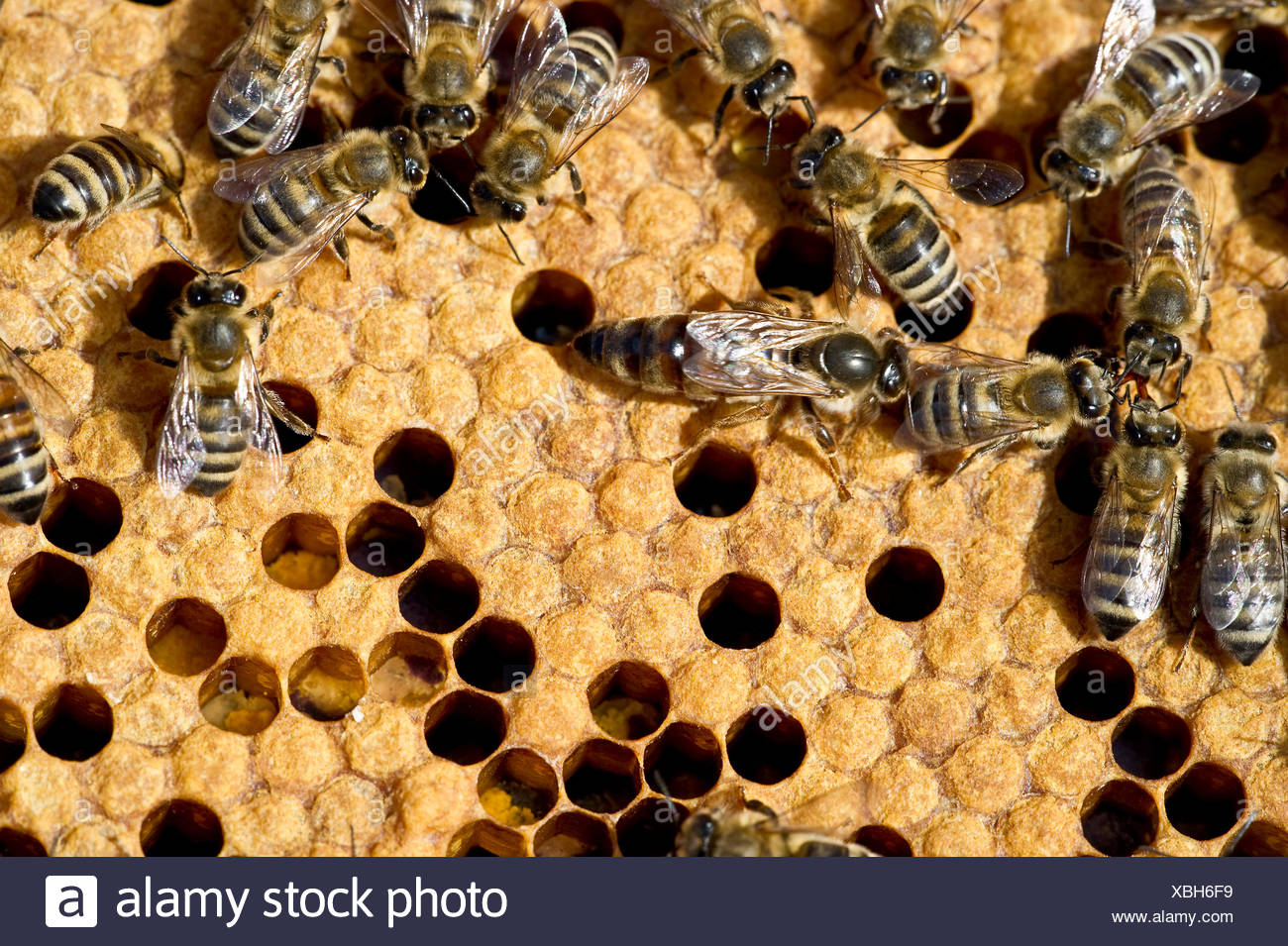 Queen bee and bees on honeycombs, Freiburg im Breisgau, Baden-Wuerttemberg, Germany - Stock Image