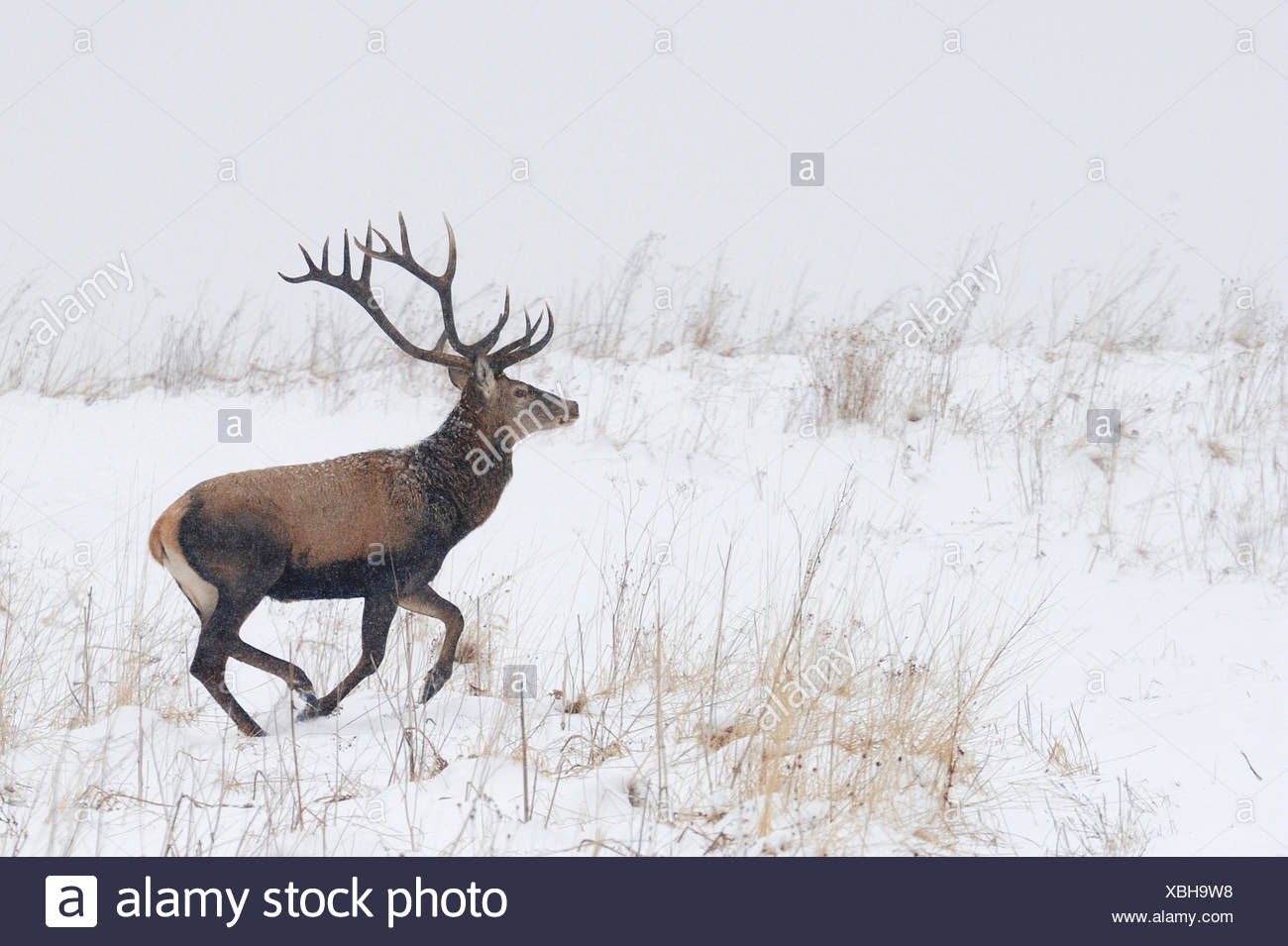 * REPEAT Red deer (Cervus elaphus) stag running in snow, Bieszczady Mountains, Poland - Stock Image