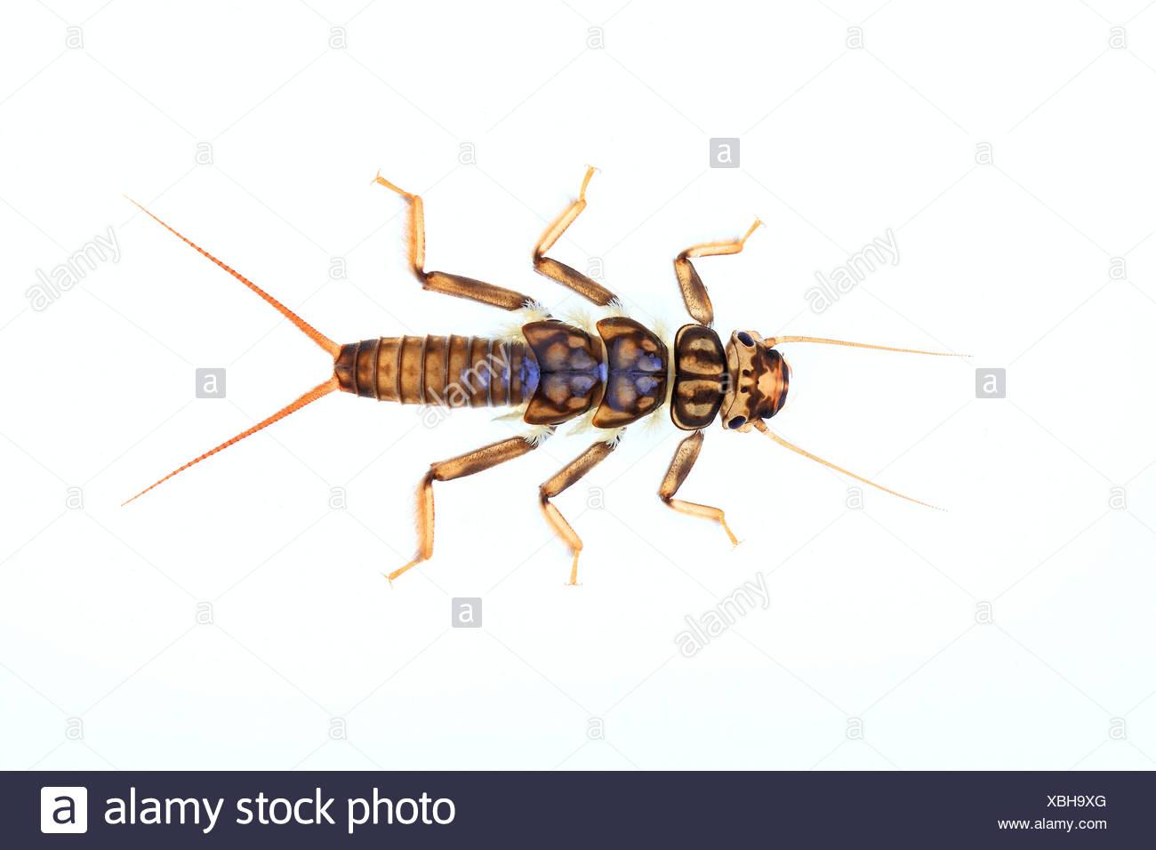Larva of a Stonefly (Plecoptera), larva living under water - Stock Image