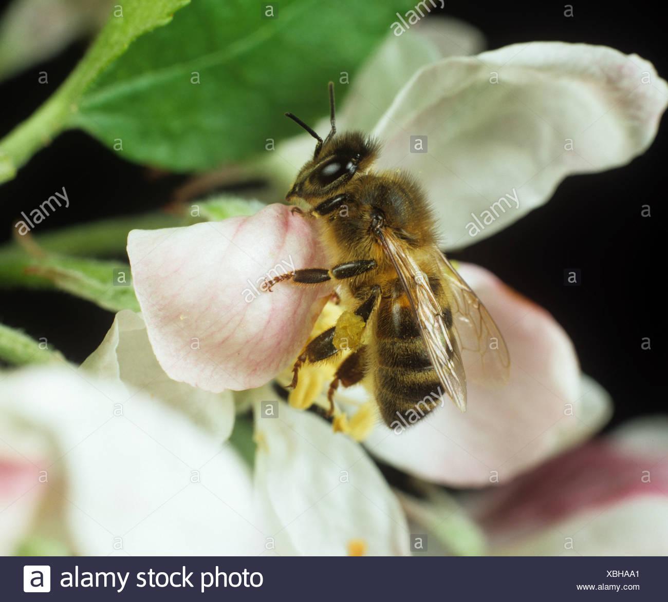 Honey bee Apis mellifera visiting an apple tree flower - Stock Image