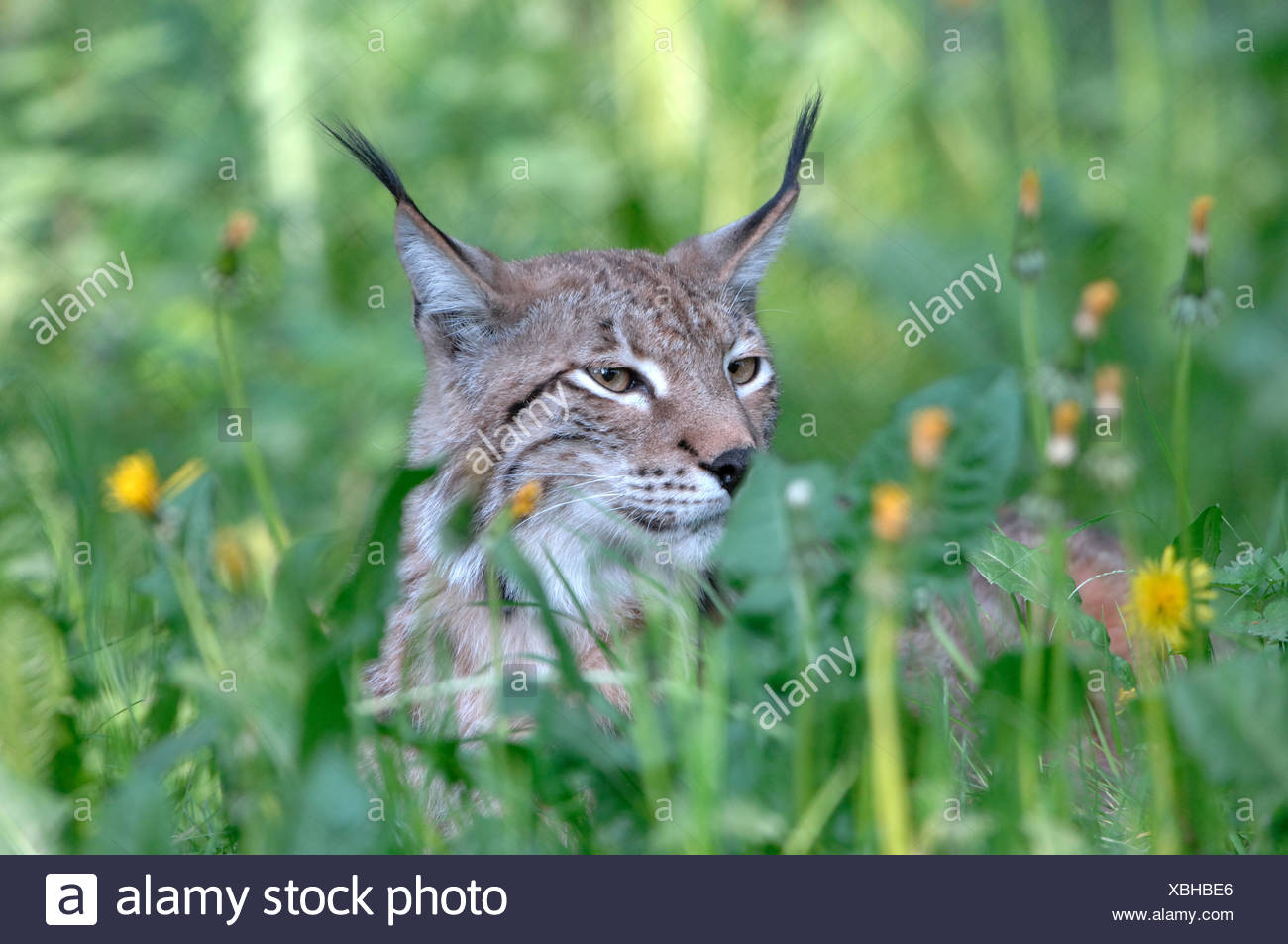 Lynx, cat, big cat, predator, cats, wildcat, big cats, lynxes, fur animals, ambusher, grass, animal, animals, Germany, Europe, - Stock Image
